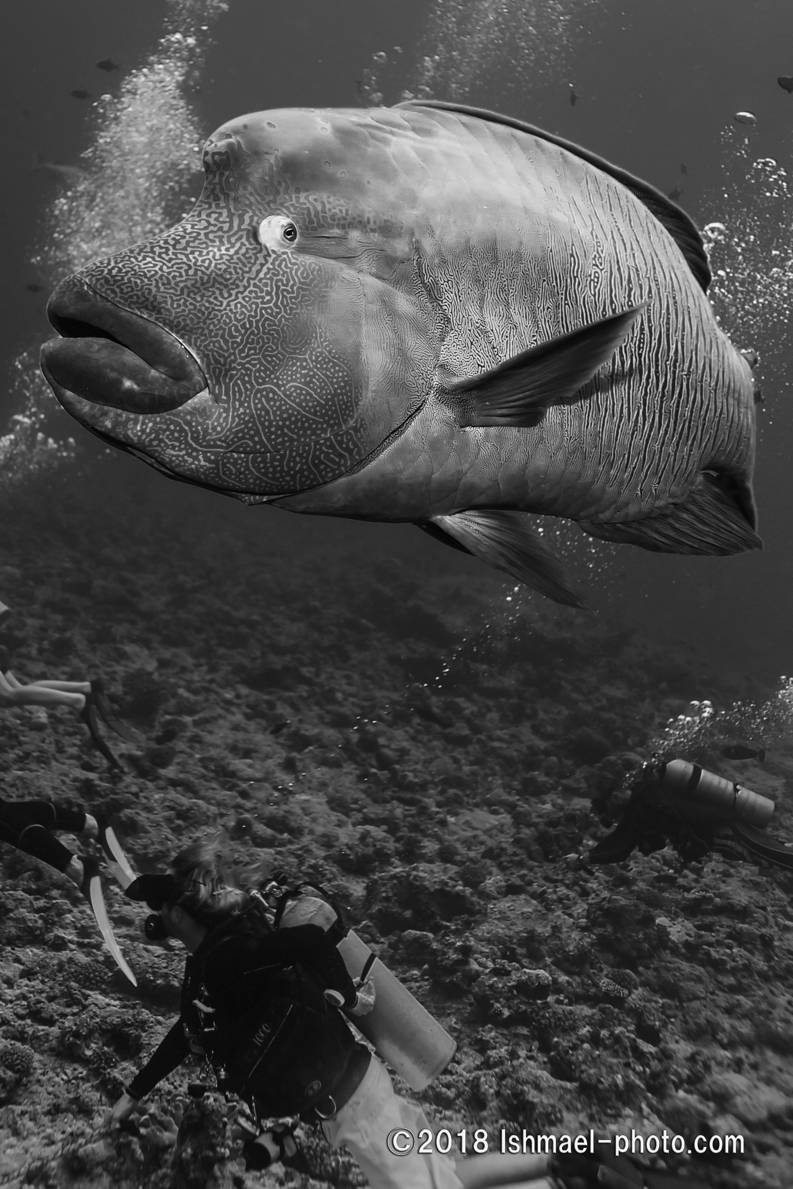 Napoleonfish and diver ナポレオンとダイバー