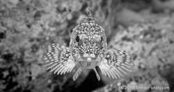 Marbled rockfish カサゴ