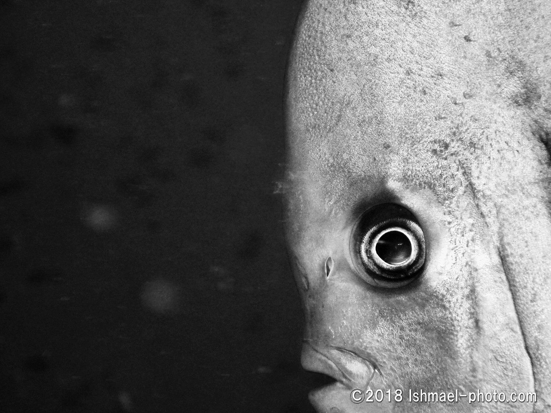 Spadefish ナンヨウツバメウオ