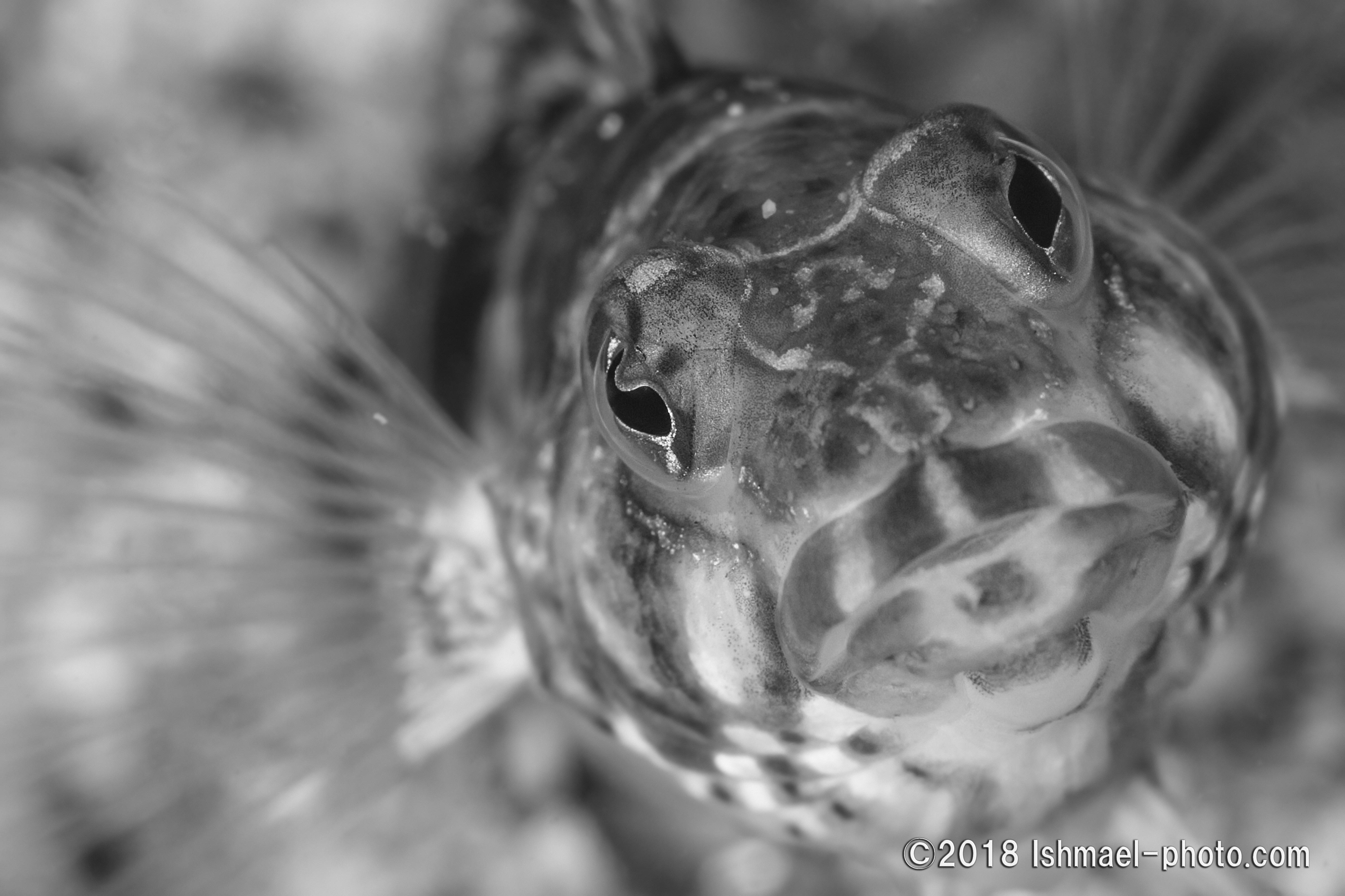 Rosy grub fish トラギス