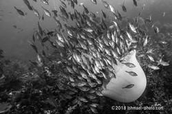 Atacking great-jerryfish エチゼン襲撃