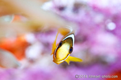three-banded anemonefish