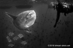 Sunfish and diver マンボウとダイバー