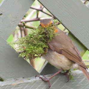 Robin-with-Moss-on-fence.jpg