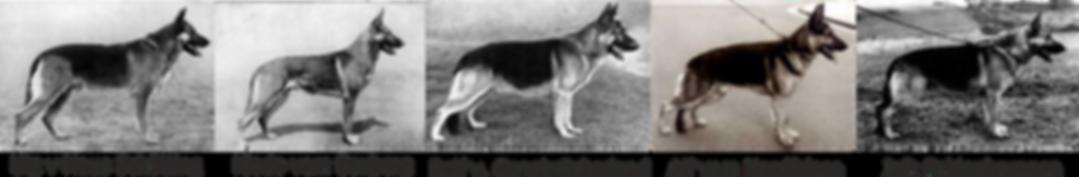 Modern Alman Çoban Köpeği.png
