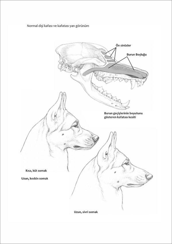Çizimlerle Alman Çoban Köpeği31.jpg