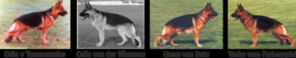 Modern Alman Çoban Köpeği4.png