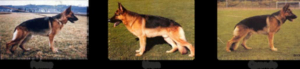Modern Alman Çoban Köpeği3.png