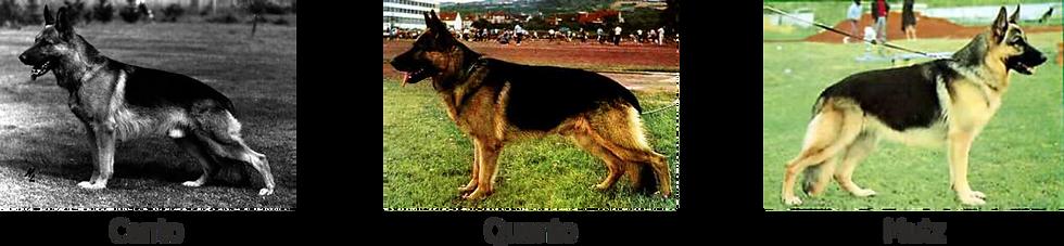 Modern Alman Çoban Köpeği2.png