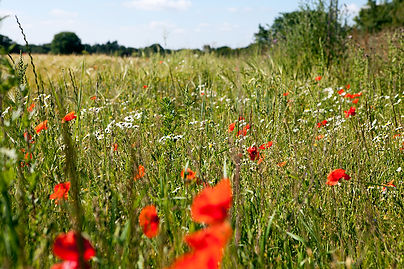 Wild flowers on Astley Estate.jpg
