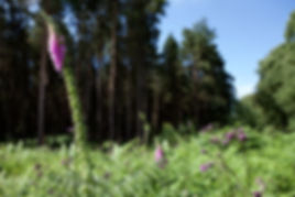 Foxgloves near woodland.jpg