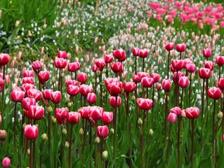 The Tulip 🌷