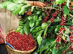 cafe-oro-verde-organico-chiapas-100-de-a