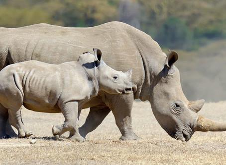 Os Rinocerontes