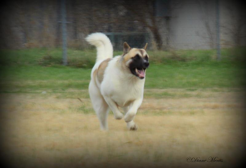 Gabby - Lure Coursing