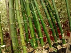 Bambu Gigante Verde