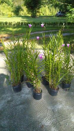 Orquidea Bambu (arundina)