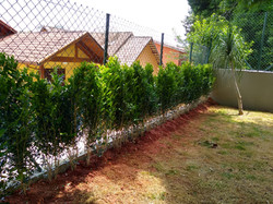 Murta (murraya paniculata)
