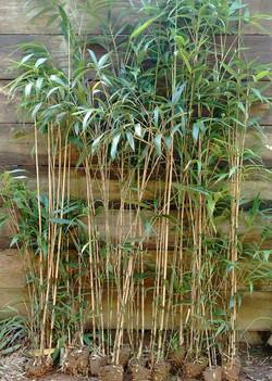 Bambu Metake