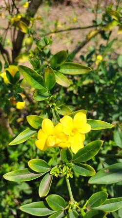 Jasmim Amarelo