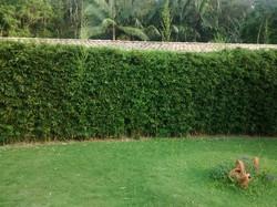 Cana da Índia
