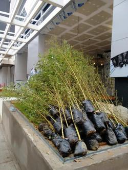 Bambu Dourado