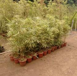 Bambu Variegato