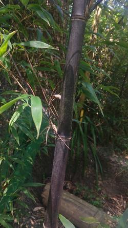 Bambu Preto