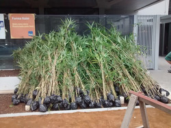 Bambu Metake Mudas