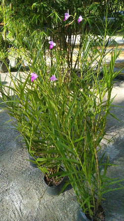 Orquidea bambu