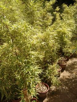 Bambu da Fortuna