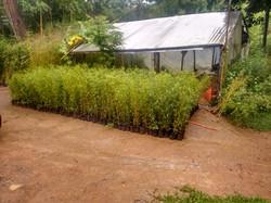 Bambu cana da índia