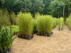 Bambu cana da india