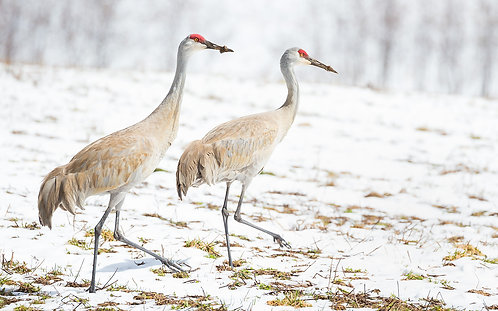 Sandhills in Spring Snow