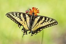 Swallowtail - website - Copyright Helen
