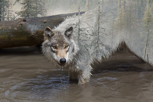 The Wild in the Wolf