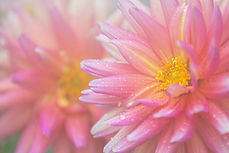 Dahlia - website - Copyright Helen E. Gr