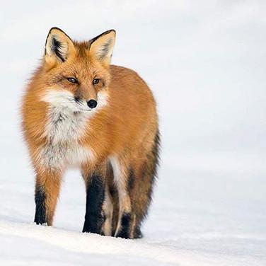 Fox in Algonquin Park | Tour | Helen E. Grose