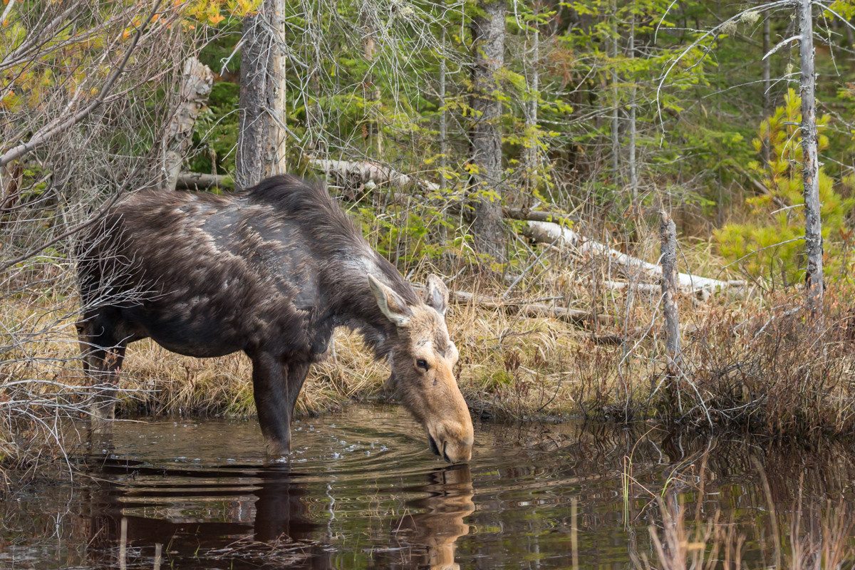 Cow moose drinking