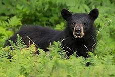 Black Bear - website - Copyright Helen E
