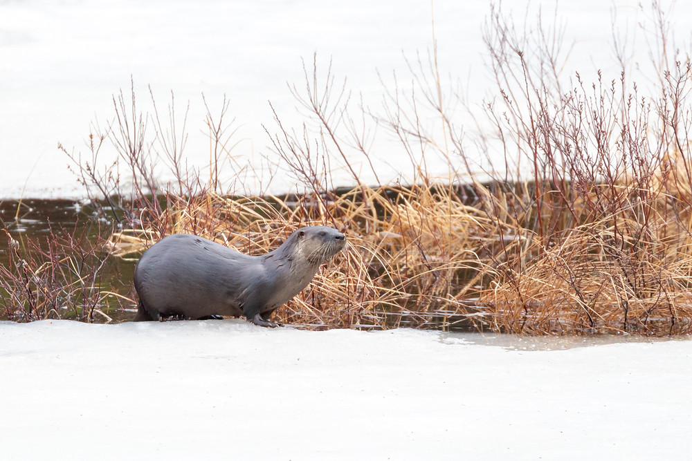 River otter on ice in Algonquin Provincial Park