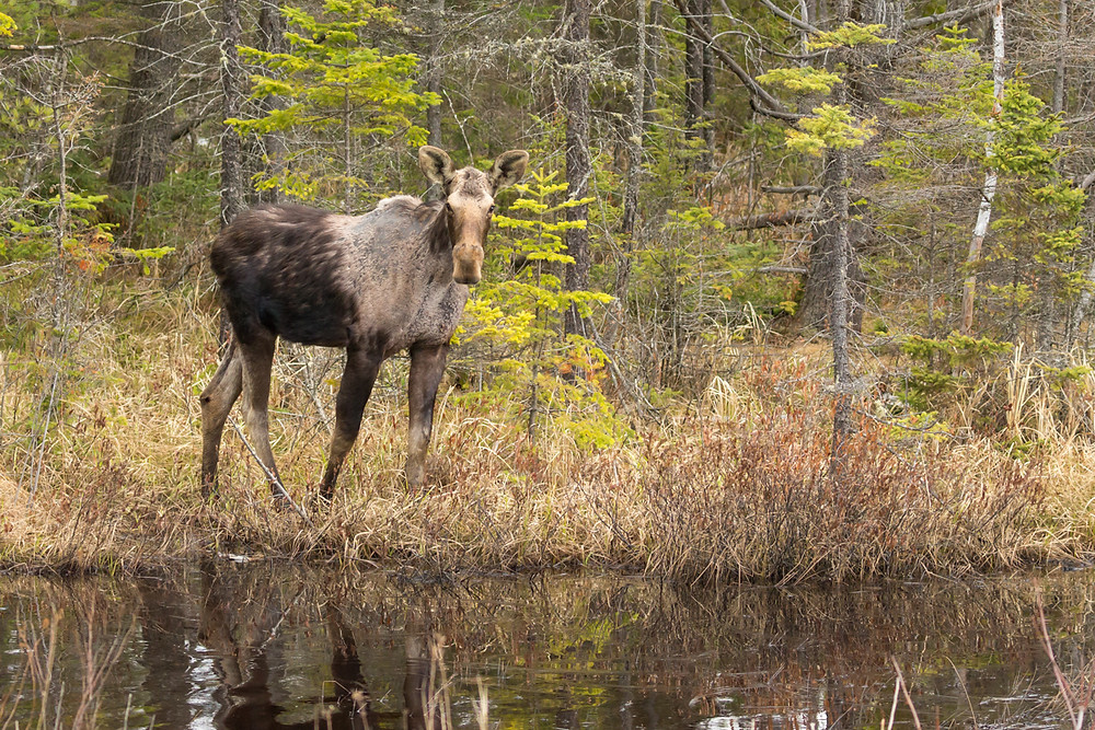 Yearling moose in Algonquin Provincial Park