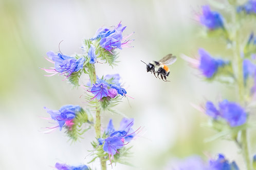Tricoloured Bumble Bee