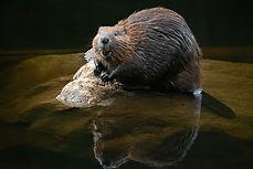 The Happy Beaver - website - Copyright H