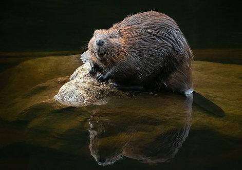 The Happy Beaver