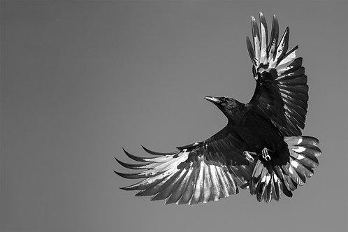 Leucestic Raven