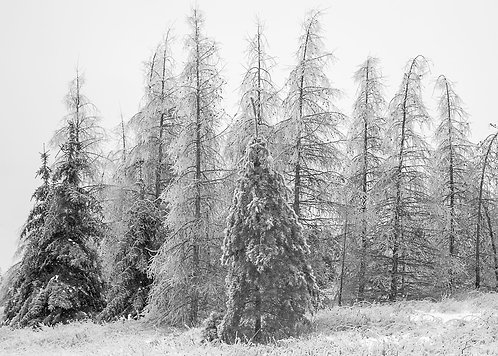 Frosty Trees Greeting Card
