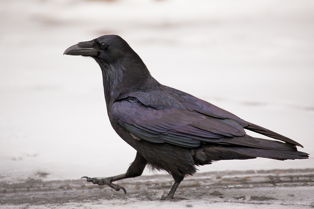Raven's March