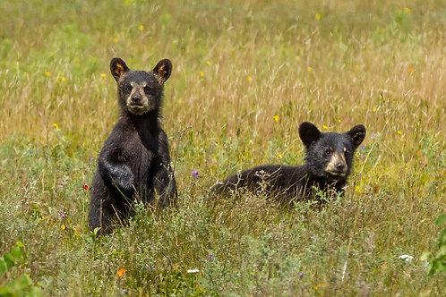 Black Bear Cubs Greeting Card