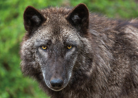 Wolf Eyes Greeting Card